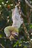 Three-toed Sloth<br /> Parque Nacional Corcovado, Costa Rica