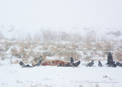 Coyote and ravens at elk kill Yellowstone National Park, WY