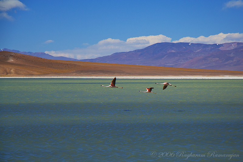 Chilean Flamingos<br /> Parque Nacional Nevado Tres Cruces, Chile