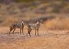 Coyotes<br /> Bosque del Apache, NM