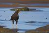 Mangrove Black Hawk<br /> Parque Nacional Corcovado, Costa Rica