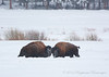 American Bison<br /> Yellowstone National Park, WY