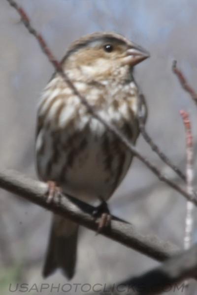 Purple Finch (0602)