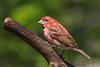 Purple Finch (0603)