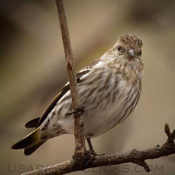 Cassin's Finch b2015