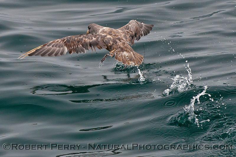 Fulmarus glacialis 2016 07-15 SB Channel-007