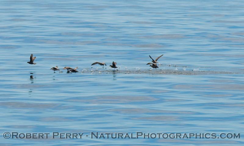 Fulmaris glacialis GROUP take off glassy water 2009 03-01 SoCal Bight - 0088modCROP