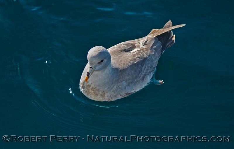Fulmarus glacialis sitting on water CLOSE 2014 01-02 SB Channel-025