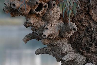Fairy Martin Nests
