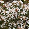 Soft-fruited Tea Tree (Leptospermum semibaccatum)