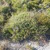 Tall Broom-heath (Monotoca scoparia)