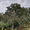 Coast Banskia (Banksia integrifolia)