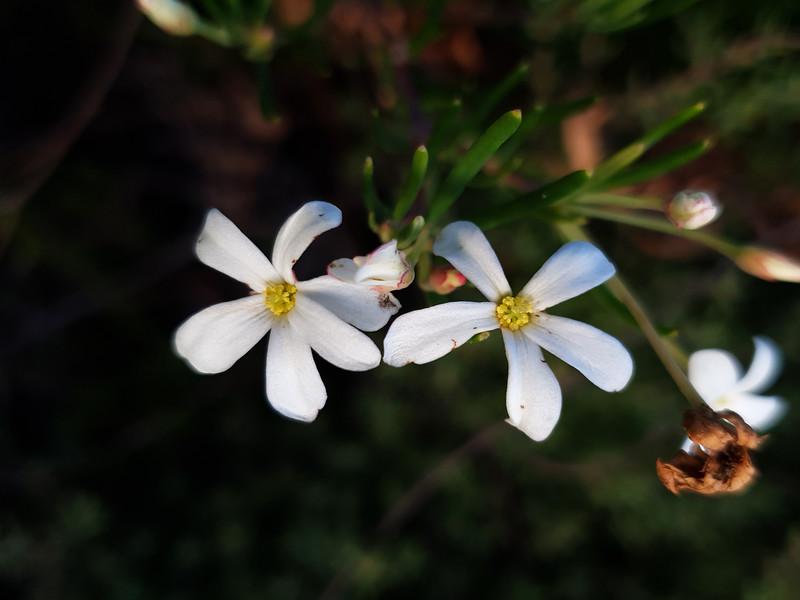 Wedding Bush (Ricinocarpos pinifolius)