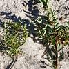 Monotoca scoparia and Monotoca elliptica