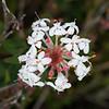 Slender Rice Flower (Pimelea linifolia subsp. linifolia)