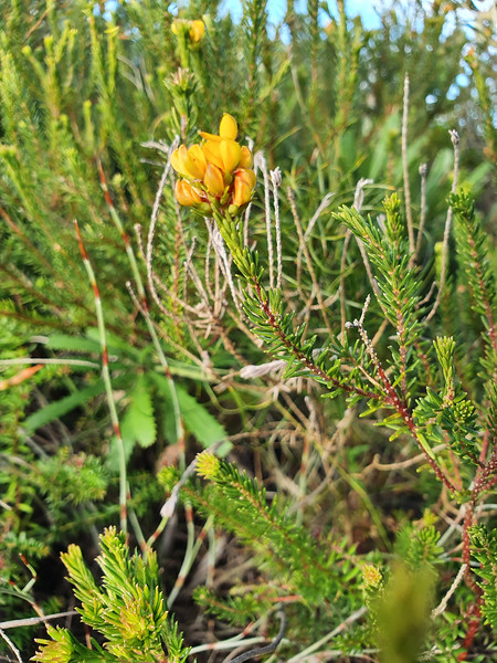 Heath Phyllota (Phyllota phylicoides)