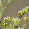 Coast Honey Mrytle (Homoranthus virgatus)