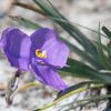 Native Iris (Patersonia sericea var. sericea)
