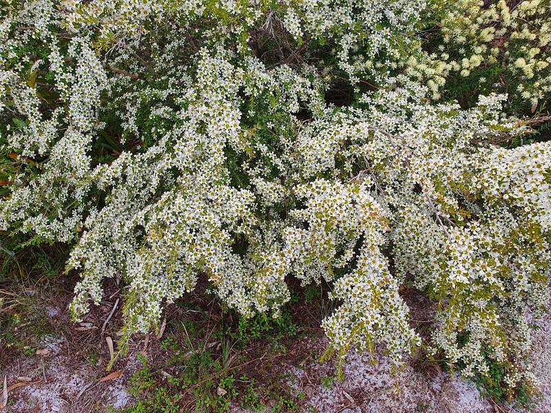 Shrubby Baeckea (Baeckea frutescens)
