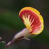 Leafless Bossiaea (Bossiaea ensata)