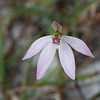 Native spider orchid (Caladenia species)