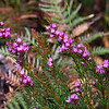 Wallum Boronia (Boronia falcifolia)