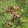 Narrow-leaved geebung (Persoonia virgata)