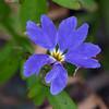 Blue Dampiera (Dampiera stricta)