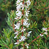 Pink Beard-heath (Leucopogon ericoides)