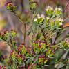 Coast Honey Mrytle/ Twiggy homoranthus (Homoranthus virgatus )