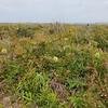 Wallum banksia (Banksia aemula)