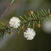 Prickly Moses (Acacia ulicifolia)