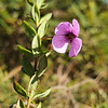 Black-eyed Susan (Tetratheca thymifolia)