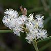 Sweet Wattle (Acacia suaveolens)