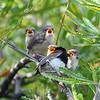 Variegated Fairy-wrens (Malurus lamberti)
