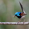 Male Variegated Fairywren (Malurus lamberti)