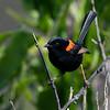 Male Red-backed Fairywren (Malurus melanocephalus)