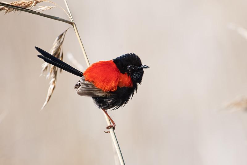 Red-backed fairywren (Malurus melanocephalus)