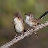 Red-backed Fairywren pair (Malurus melanocephalus)