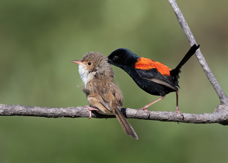Red-backed Fairywren pair (Malurus melanocephalus)