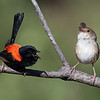 Pair Red-backed Fairywrens (Malurus melanocephalus)