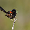 Male Red-backed Fairywren (Malurus melanocephalus)