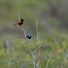 Male Red-backed and Variegated Fairywrens
