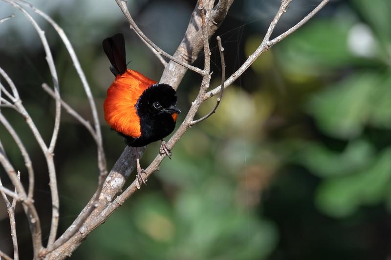 Male Red-backed Fairywren