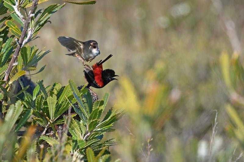 Red-backed Fairywrens (Malurus melanocephalus)