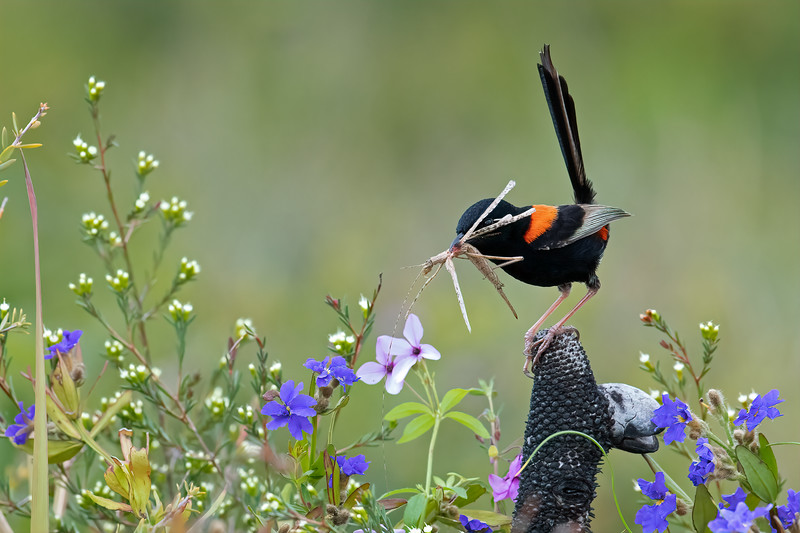 Red-backed Fairywren (Malurus melanocephalus)