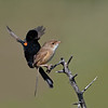 Red-backed Fairywren mating  (Malurus melanocephalus)