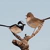 Superb Fairy-wren pair (Malurus cyaneus)