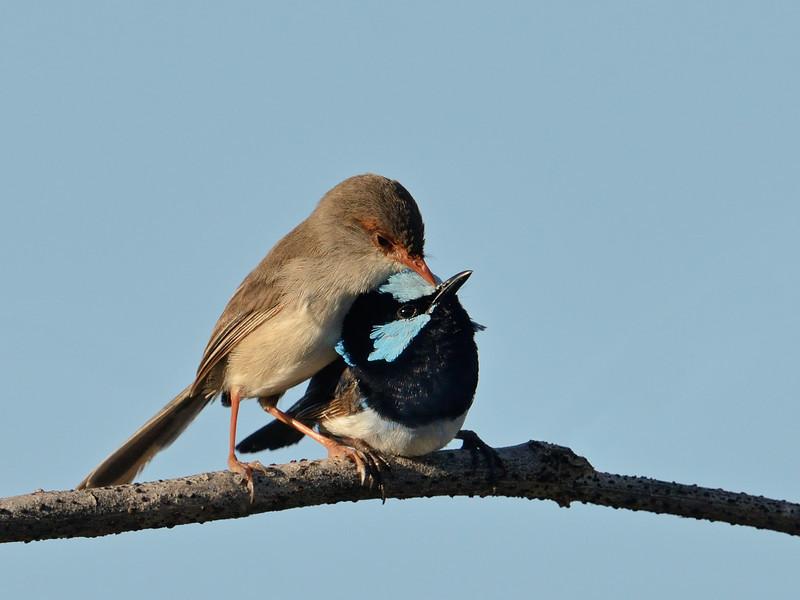 Female and Male Superb Fairy-wrens  (Malurus cyaneus)