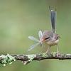Variegated Fairy-wren (Malurus lamberti)